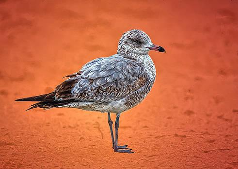 Ring Billed Gull on Orange Background by John M Bailey