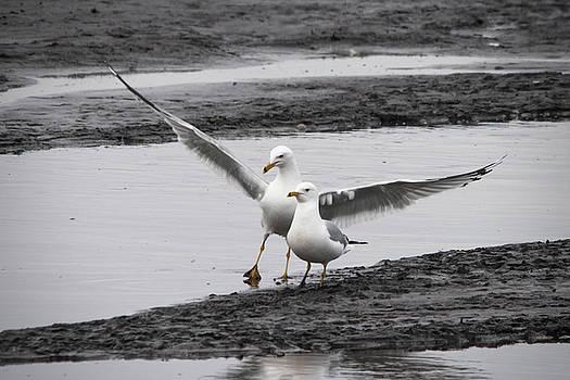 Ring Billed Gulls by Jayne Gohr