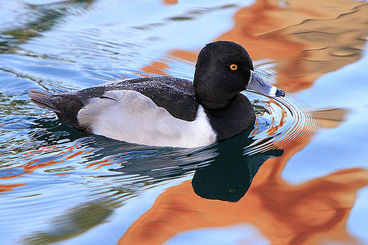 Ring-Necked Duck by Shoal Hollingsworth