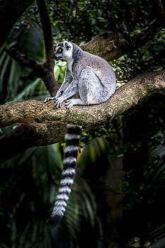 Francisco Gomez - Ring-Tailed Lemur 1