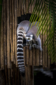Francisco Gomez - Ring-Tailed Lemur 2