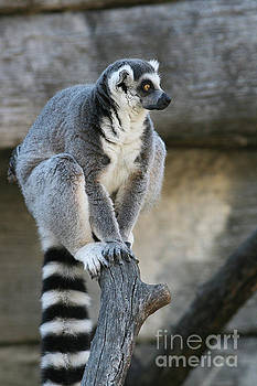 Ring-tailed Lemur #7 by Judy Whitton