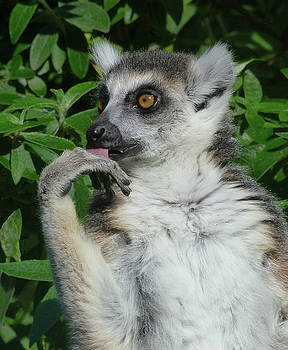 Ring-tailed Lemur Contemplating His Next Snack by Margaret Saheed