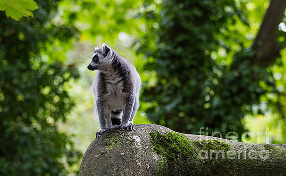 Marc Daly - Ring-tailed Lemur