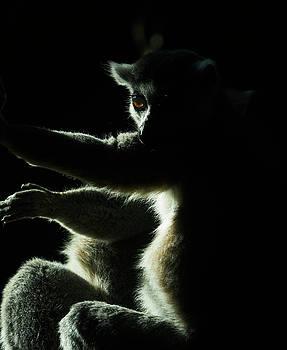 Steven Ralser - Ring Tailed Lemur