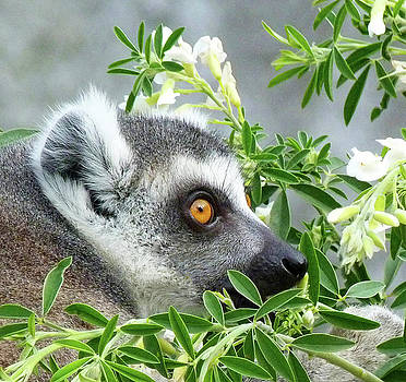 Ring-tailed Lemur Watching His Group  by Margaret Saheed