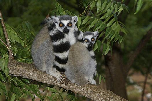 Michele Burgess - Ring-Tailed Lemurs