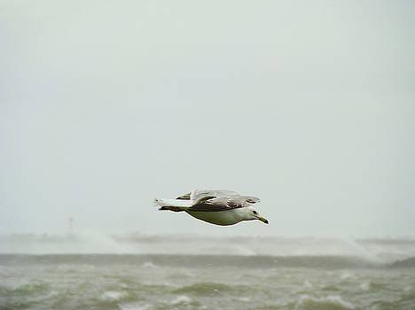 Ringed Billed Seagull Flying Over Choppy Waters by Gothicrow Images