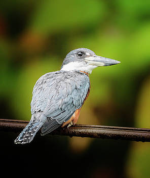 Ringed Kingfisher Costa Rica by Joan Carroll
