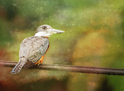 Ringed Kingfisher Costa Rica Textured by Joan Carroll