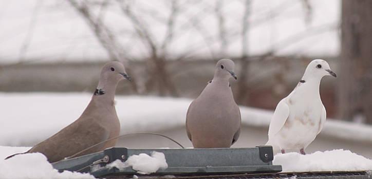 Ringneck Dove Trio by Amy Jo Garner