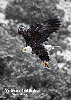 Rio Grande Bald Eagle by Britt Runyon