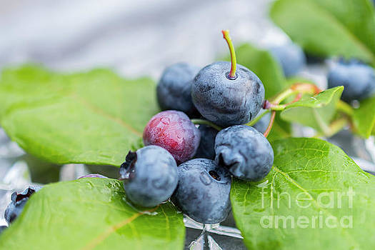 Sophie McAulay - Ripe blueberries and leafs