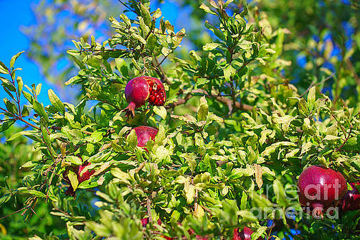 Ripe Pomegranate on the tree in Jerusalem during Sukkoth by Jeffrey Worthington