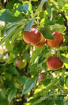 Sophie McAulay - Ripe red apples