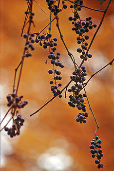 Ripe wild grapes  by Peter Pauer