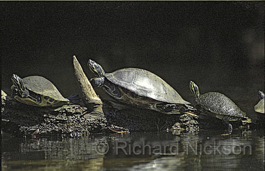 River Cooters by Richard Nickson