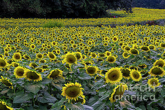 Barbara Bowen - River of Sunflowers
