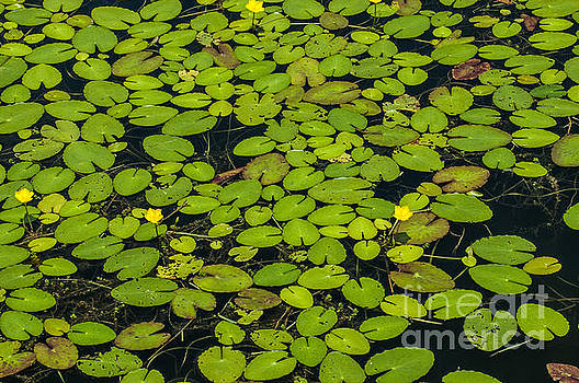 Dale Powell - Rivertowne Lilly Pads in Pond