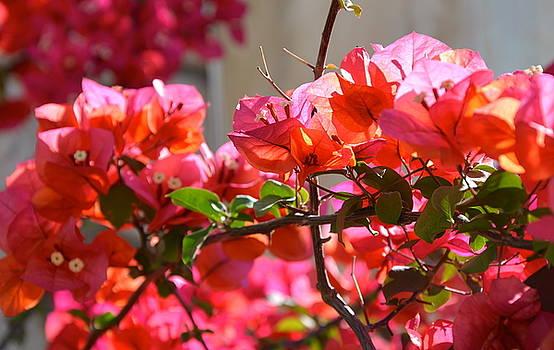 Corinne Rhode - Riviera Flowers
