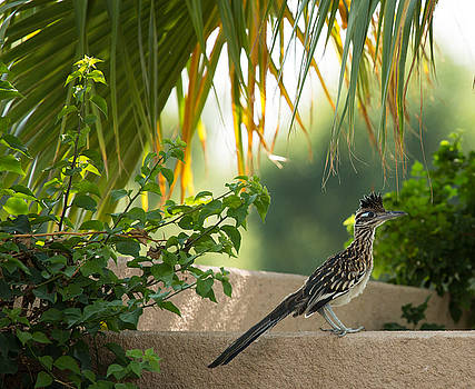 John Daly - Roadrunner and Palm Frond