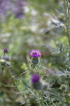 Roadside Thistle Bee Polination by Adrian Bud