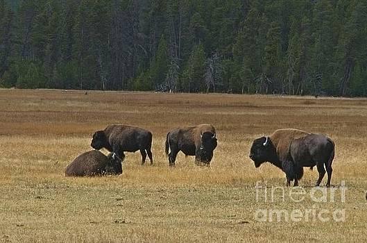 James E Weaver - Roam Buffalo