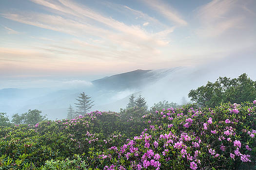Roan Highlands Catawba Rhododendron by Mark VanDyke