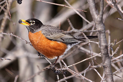 Robin eating by Chris Hill