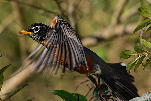Robin Flying Through The Bushes 122520150727 by WildBird Photographs