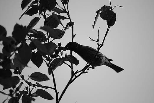 Michelle  BarlondSmith - Robin in Black and White