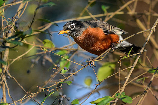 Robin In The Berry Bush 122520150800 by WildBird Photographs