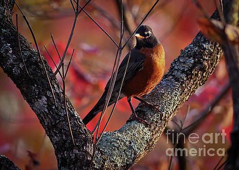 Robin in the Dogwood by Douglas Stucky