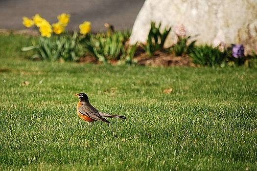 Robin in the Grass by Michael Wall