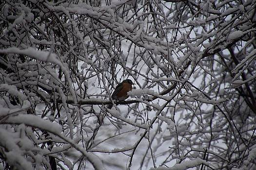 Robin in winter by Michael Senn