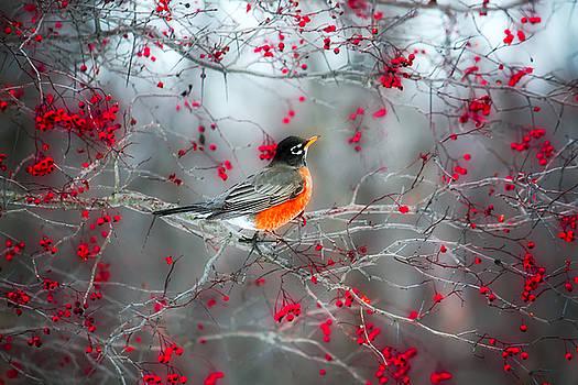 Robin by Marina Kojukhova