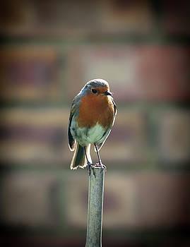 Robin on a stick by Nigel Jones
