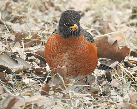 Robin On The Hunt by Kathy M Krause
