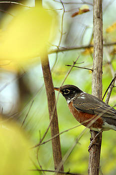 Off The Beaten Path Photography - Andrew Alexander - Robin Perched