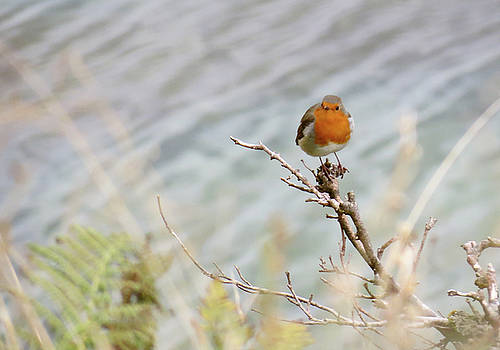 Robin Resting by Azthet Photography