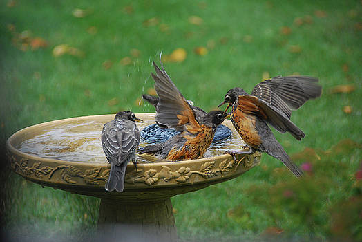 Robins bathing by Wanda Jesfield