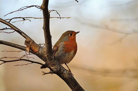 Robins by Renee Pettersson