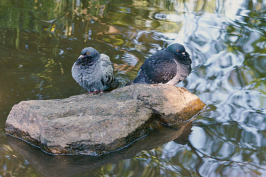 Rock Doves by Asbed Iskedjian