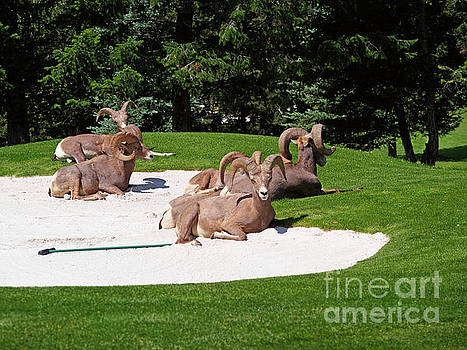 Rocky Mountain Bighorn sheep rest on a golf course by Louise Heusinkveld