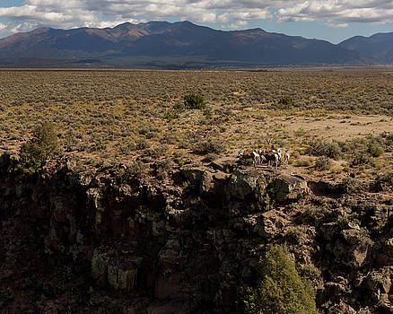 Rocky Mountain Bighorn Sheep, Taos County, NM by Troy Montemayor