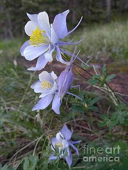 Rocky Mountain Columbine by Sallie Anderson