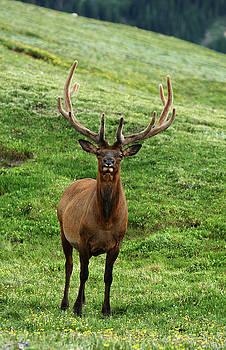 Rocky Mountain Elk 1 by Marie Leslie