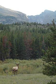 Rocky Mountain Elk by Kathy Schumann
