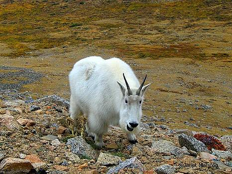 Rocky Mountain Goat by Janet Marston