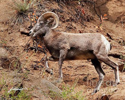 Rocky Mt. Big Horn Sheep by Jim Fillpot